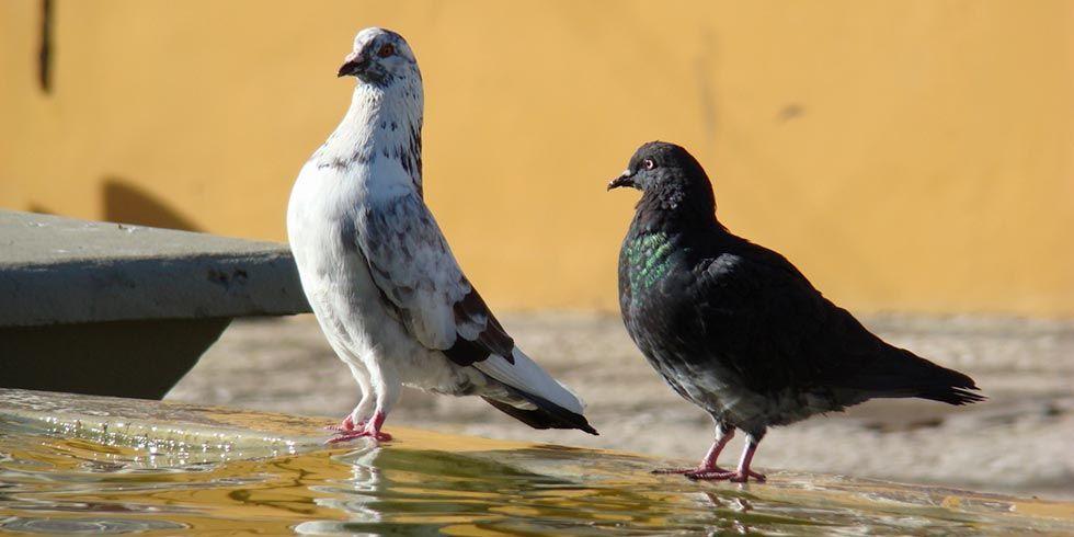 espantar os pombos