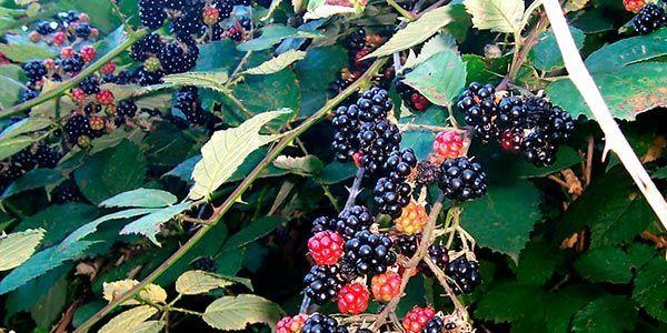 amore preta fruta